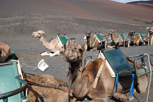 Los sacrificacos camellos de Lanzarote