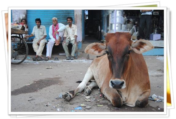 Vaca india, la dueña de la calle