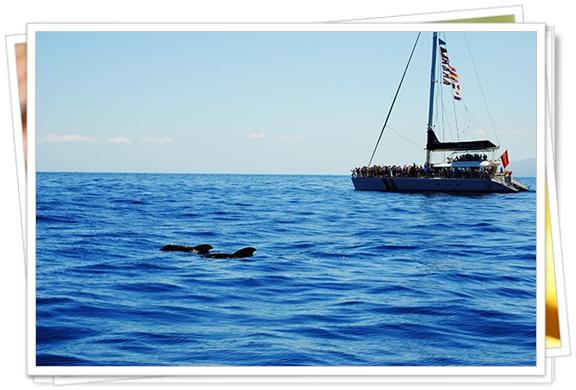 Las ballenas piloto pasean junto a los barcos