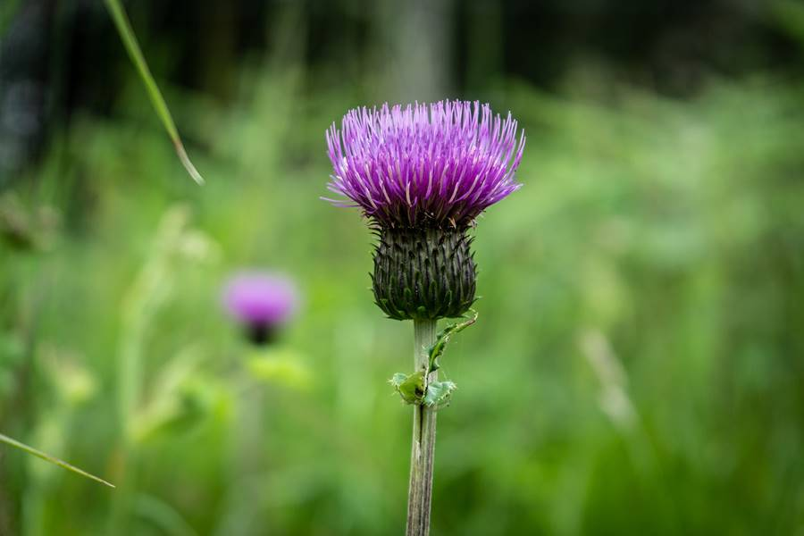 Flor de Escocia